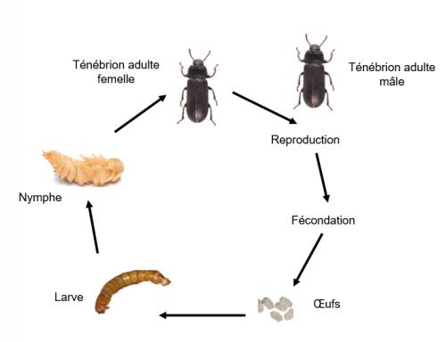 Cycle de vie du ténébrion